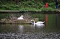 Queensmere Swans 2012 -2 (7121675269).jpg