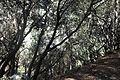 Quercus alnifolia kz7.jpg