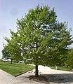 Quercus cerris 1a.jpg