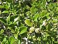 Quercus coccifera. Coscoyal.jpg