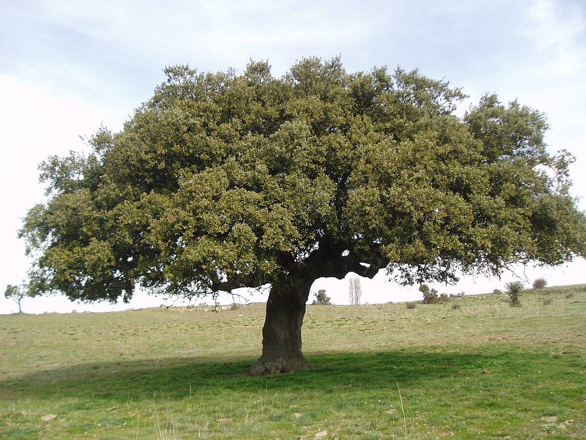 Azinheira wiktionary for Arboles de hoja perenne en galicia