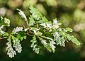 Quercus robur in Aveyron 08.jpg