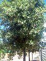 Quercus suber2p.jpg