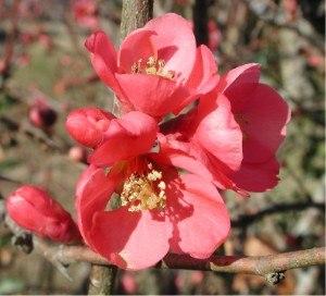 Chaenomeles - Chaenomeles in flower, probably a cultivar of C. × superba