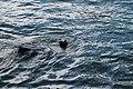 Río Valdivia en Valdivia 05 oso marino.jpg
