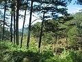 Rừng Thông Đà Lạt - panoramio.jpg