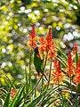 Rainbow lorikeet and Aloe sp inflorescences Arid Zone garden Brisbane Botanic Gardens Mt Coot-tha P1100033.jpg