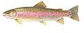 Rainbow trout 285.jpg
