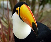 The Toco Toucan is a typical animal of the Brazilian rain forests.