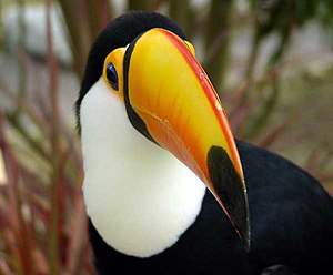 Toco Toucan. The biodiversity of Brazil's rain...