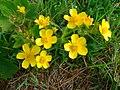 Ranunculus cortusifolius.jpg