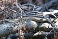 Recovered Lake Erie watersnake (Nerodia sipedon insularum) (8757945331).jpg