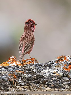 Red-Mantled Rosefinch (Carpodacus rhodochlamys) (36164873662).jpg
