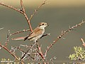 Red-backed Shrike (Lanius collurio) (39644606083).jpg