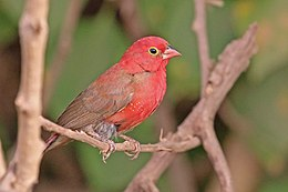 Red-billed firefinch (Lagonosticta senegala senegala) male.jpg