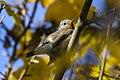 Red-breasted Flycatcher - Near Padova ( Veneto ) - Italy - CD5A9308 (30727304830).jpg