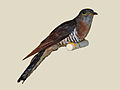 Red-chested Cuckoo specimen RWD.jpg