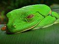 Red-eyed Tree Frog (Agalychnis callidryas) (6941089388).jpg