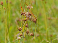 Red Grass (Themeda triandra) (13912868212).jpg