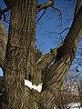 Red Oak (39120017704).jpg