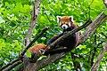 Red Panda (37242236410).jpg