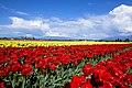 Red Tulips (205290827).jpeg