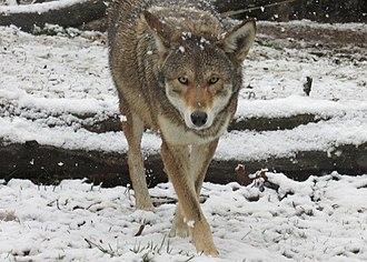 Henson Robinson Zoo - Red Wolf at Henson Robinson Zoo