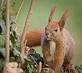 Red squirrel (32577665367).jpg