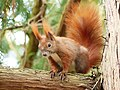 Red squirrel on tree branch.jpg