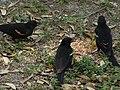 Red winged blackbirds eating seed 1.jpg