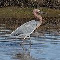 Reddish Egret (11669799776).jpg