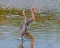 Reddish Egret Courtship. (25378873176).jpg