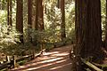 Redwood Forest Trail (2448584114).jpg