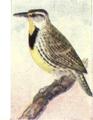 Reed-meadowlark.png