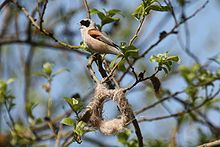 Remiz pendulinus -Estonia -singing by partly built nest-8.jpg