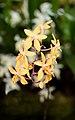 Renanthopsis Mildred Jameson - Internationale Orchideen- und Tillandsienschau Blumengärten Hirschstetten 2016 a.jpg