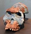Resti di australopithecus garhi, da bouri in afar, 2,5 milioni di anni fa.jpg