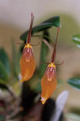 Copper (color) - Copper restrepia orchids