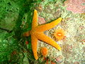 Reticulated starfish at Pinnacle PB022187.JPG