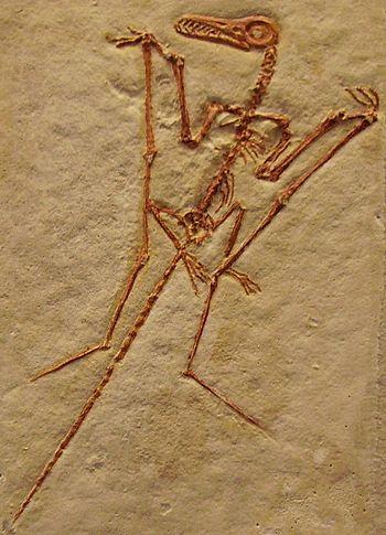 Rhamphorhynchus longicaudus.jpg