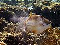 Rhinecanthus assasi - Rotmeer-Picassodrueckerfisch 0529.jpg