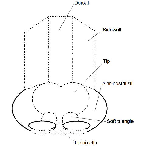 Filerhinoplasty Nose Diagram Nasal Subunits Labelledg