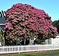 Rhododendron,Spring Time (20994241349).jpg
