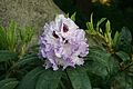 Rhododendron 'Blue Peter'.JPG