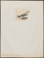 Rhodostethia rossi - 1820-1860 - Print - Iconographia Zoologica - Special Collections University of Amsterdam - UBA01 IZ17900198.tif