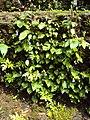 Rhynchoglossum obliquum 20.JPG