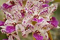 Rhynchostylis gigantea - Flickr 003.jpg