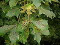 Rhytisma acerinum.jpg