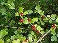 Ribes alpinum 2016-07-19 2770.jpg
