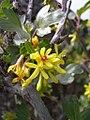 Ribes aureum-4-05-05.jpg